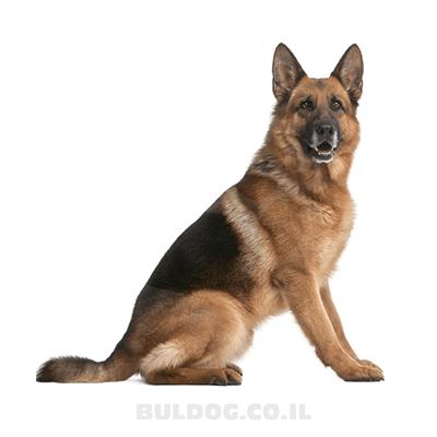 רועה גרמני - כלב זאב