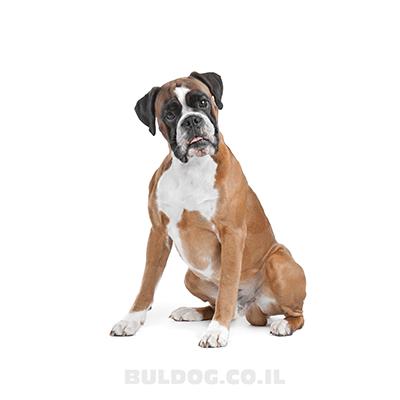 בוקסר - כלב בוקסר