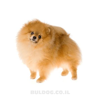 פומרניאן | פומרניין | כלב פומרניין