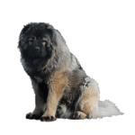 כלב רועה קווקזי
