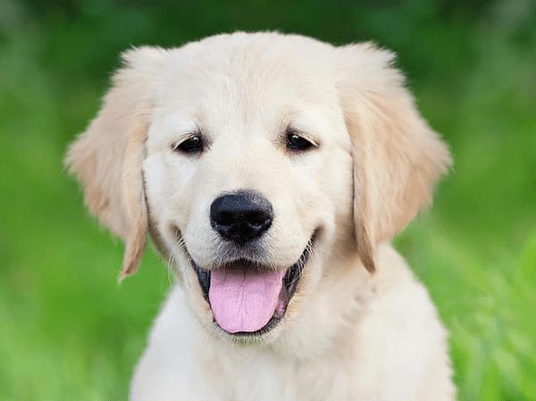 גור כלב גולדן