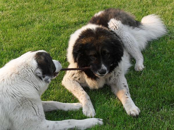 כלבי רועים קווקזים