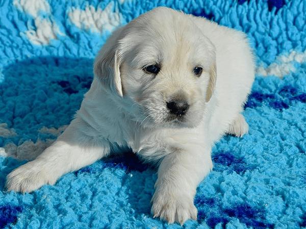 כלב גולדן גור