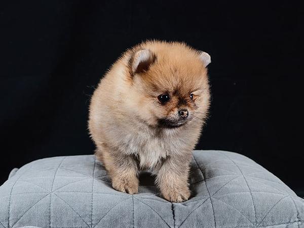 כלב פומרניאן