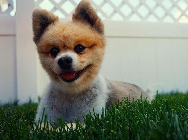 כלב פומרניין דובי