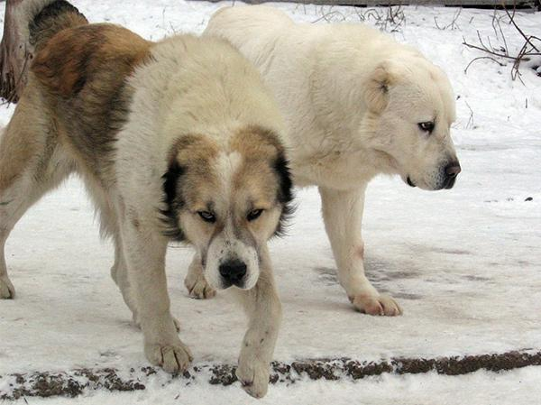 כלב רועה אסיאתי בשלג