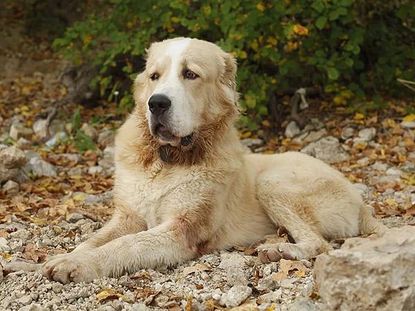כלב רועים אסיאתי