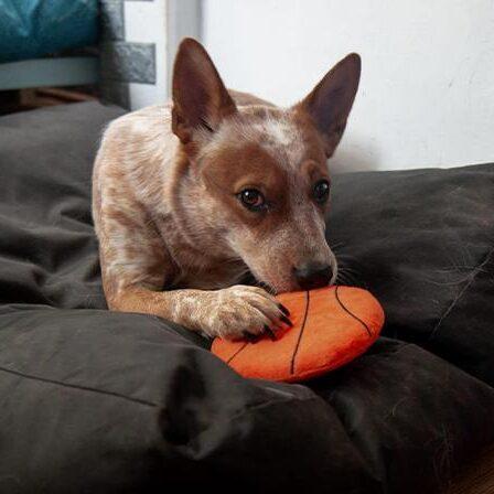 כלב עם צעצוע פריזבי