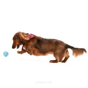 כלב-קטן-משחק-בכדור-ג'יבי
